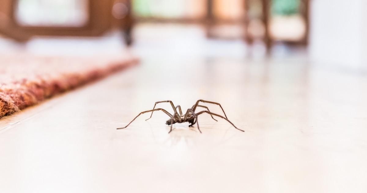 Por qué nunca deberías matar una araña en tu casa