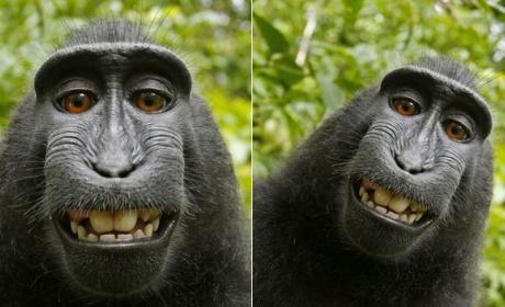 La Wikipedia se niega a borrar un selfie de un macaco porque la foto la hizo el mono, y por tanto es de dominio público.