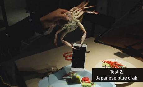 La prueba de resistencia del Xiaomi Mi4 con cangrejos vivos.