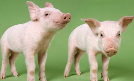 Los cerdos podrían servir para incubar órganos humanos