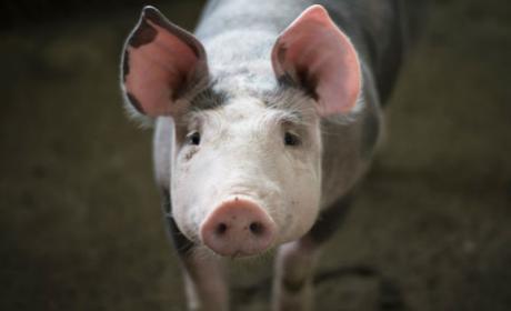Crean cerdos light modificados genéticamente.