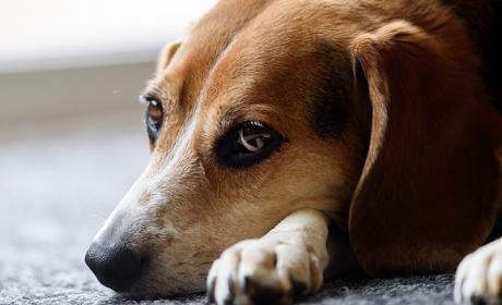 Beneficios de los perros para la salud según su raza.