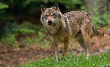 Matan en directo a la primera loba vista en 200 años en Dinamarca