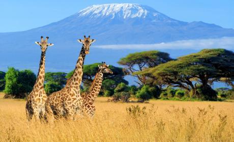 Jirafas safari