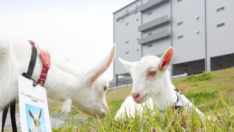 Amazon Japón contrata a 40 cabras para cortar el césped y quitar las malas hierbas de sus jardines.
