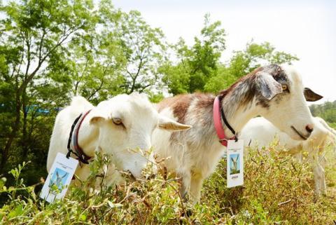 Amazon Japón contrata 40 cabras