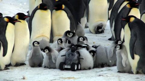 Rover se infiltra en población de pingüinos