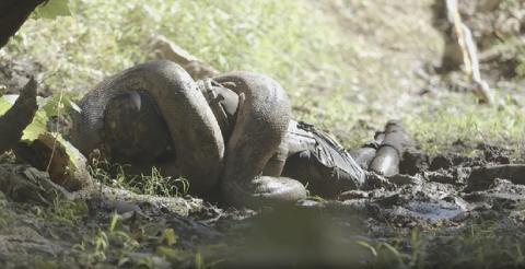 Hombre devorado por anaconda
