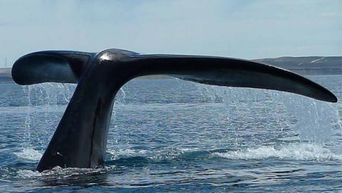 Ballenas boreales