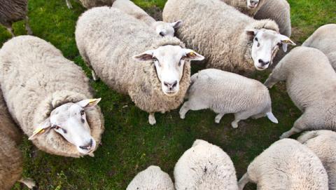 ovejas conectadas