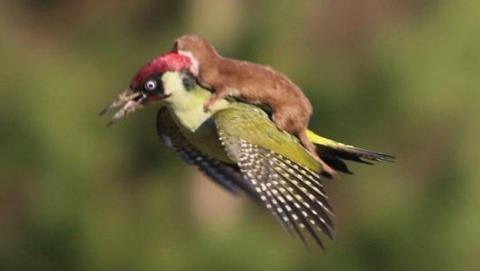 La foto de una comadreja que vuela montada en un pájaro se hace viral. ¿Qué ocurre aquí?
