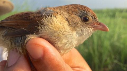 Descubren un pájaro extinguido hace 74 años, en Singapur.