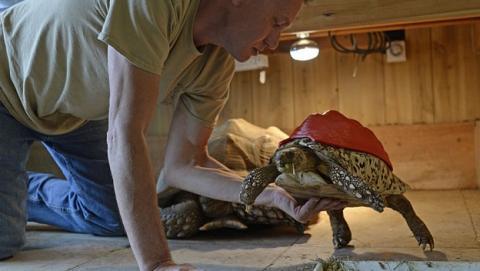 Reparan la concha de una tortuga leopardo con impresora 3D.