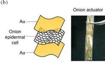 Músculos artificiales con piel de cebolla
