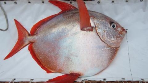 Descubren el primer pez de sangre caliente (vídeo).