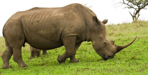 Cuerno de rinoceronte impreso con impresora 3D