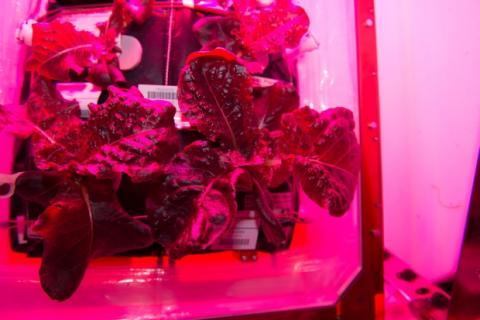 Primera lechuga cultivada en el espacio