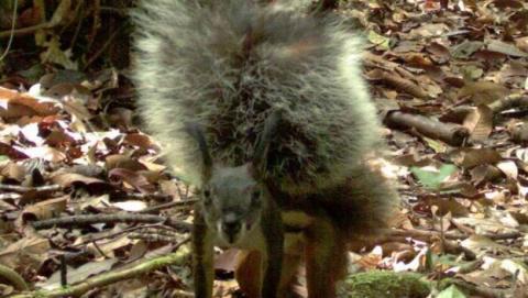 La ardilla vampiro de Borneo, grabada por vez primera en vídeo.