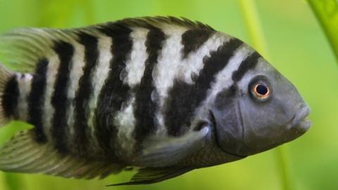 pez cebra