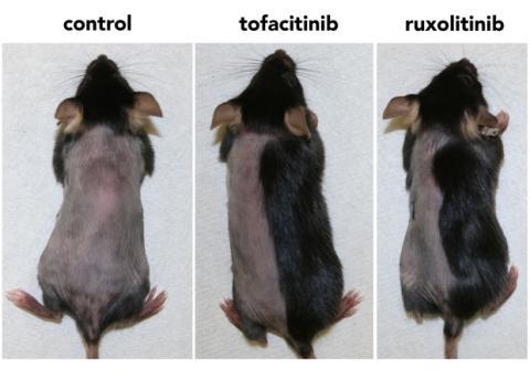 Calvicie ratones