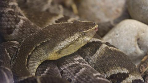 Crean un gel con veneno de serpiente para detener hemorragias