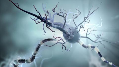 Un fármaco para el asma regenera las neuronas y rejuvenece