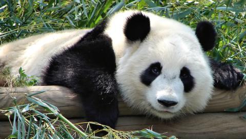 Científicos chinos descifran el lenguaje de los osos panda