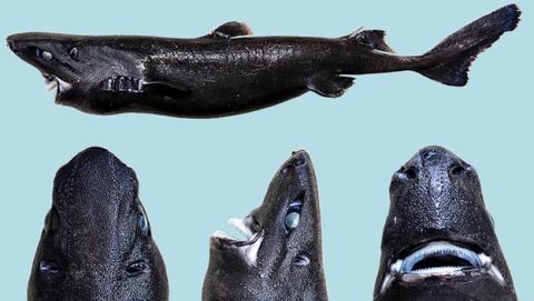 Descubren en México un tiburón linterna que brilla en la oscuridad
