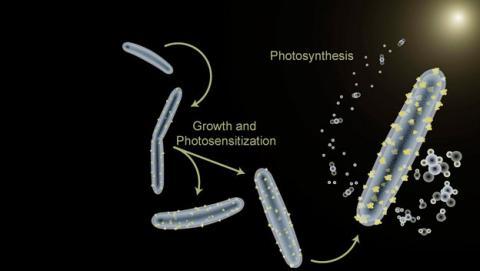Bacteria que hace la fotosintesis artificial