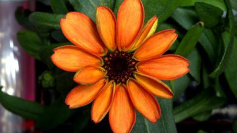 Cultivos en el espacio de flores y lechugas