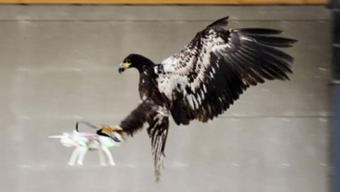 La policía holandesa entrena águilas para derribar drones
