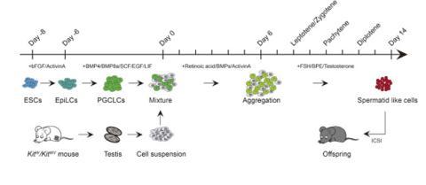 Procedimiento de creación de espermatozoides a partir de células madre