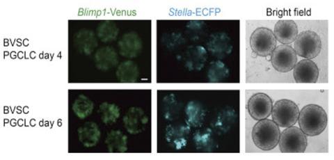 Crean espermatozoides a partir de células madre