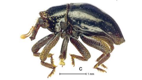 El escarabajo Chewbacca y otros animales con nombres de Star Wars