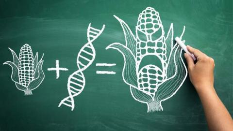 Los alimentos transgénicos son más sanos y menos contaminantes