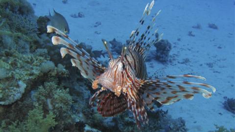 La amenaza venenosa del Pez León llega al Mediterráneo