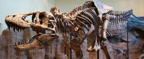 Fósil de un Tiranosaurio Rex