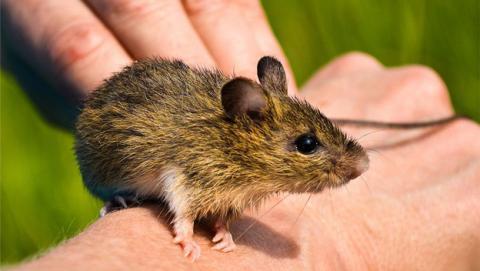 Ratón Zapus