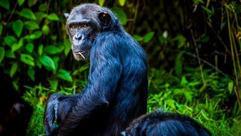 Experimento con chimpancés
