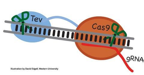 Qué es CRISPR, el corta y pega genético que cura enfermedades