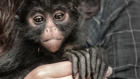 estincion primates monos chimpaces