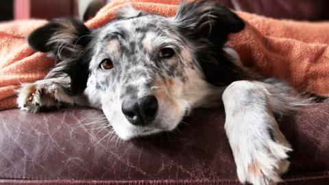 vacuna gripe perro