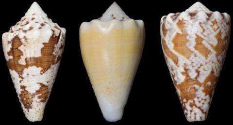 Analgésico de caracol marino