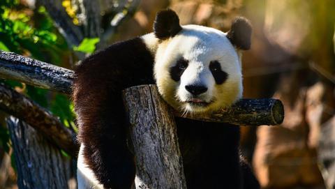 Curiosidad sobre el oso panda