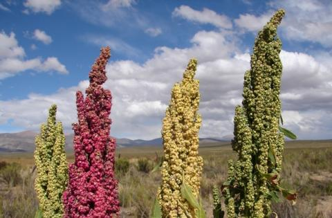 Quinoa: propiedades, beneficios y mejores recetas caseras