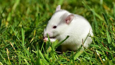 Trasplante de cabeza en ratas.