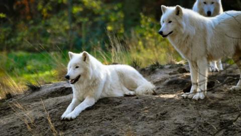 Diferencias entre perros y lobos.