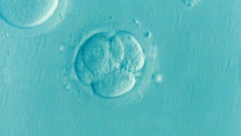 Embrión humano modificado genéticamente por primera vez.