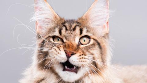 entender gato