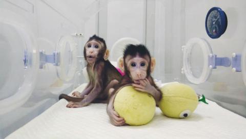 Dos macacos clonados abren la puerta a la clonación humana.